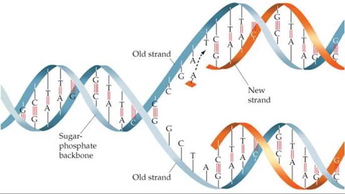 Diagram of DNA code replicating 2