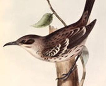 A Mockingbird from Galápagos Islands