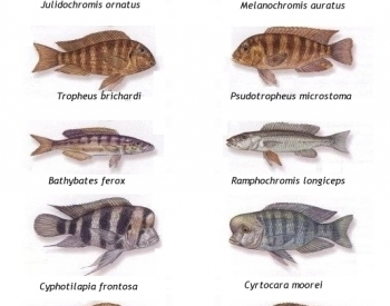 Cichlid fish of Lakes Tanganyika and Malawi