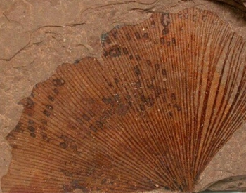 Fossil leaf of Ginkgo, from British Columbia, Canada.