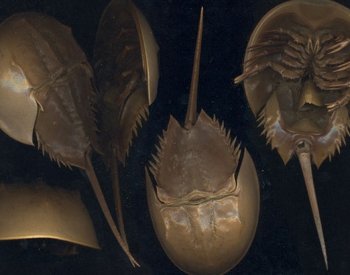 Modern Horseshoe Crab