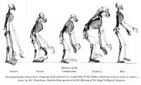 Huxley's diagram of apes and man - Credit: W Hawkins