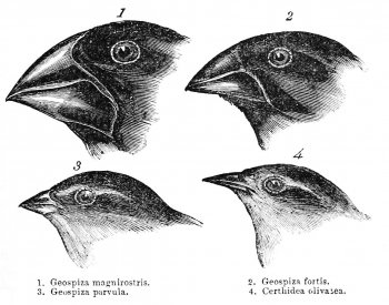 Darwin's Finches from Galápagos Islands showing different beak forms.